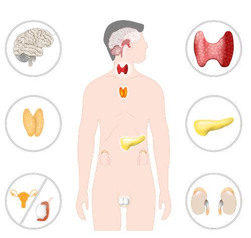 O sistema endócrino é formado por várias glândulas endócrinas