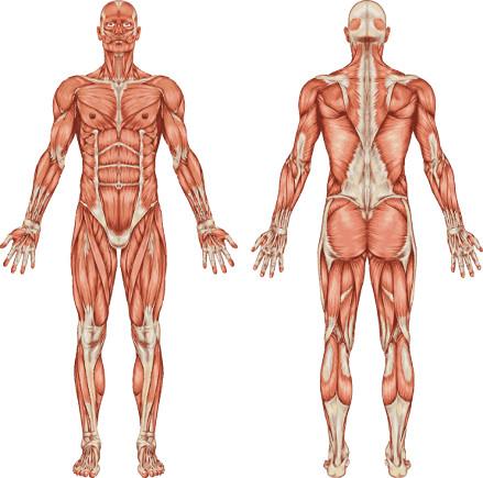 O sistema muscular é constituído pelo conjunto de músculos presente no organismo