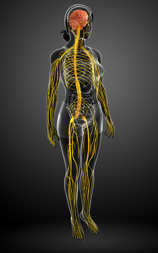 O sistema nervoso é dividido em sistema nervoso central e sistema nervoso periférico