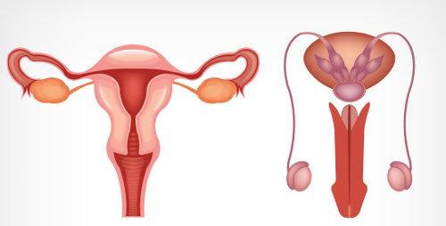 O sistema reprodutor é responsável pela reprodução