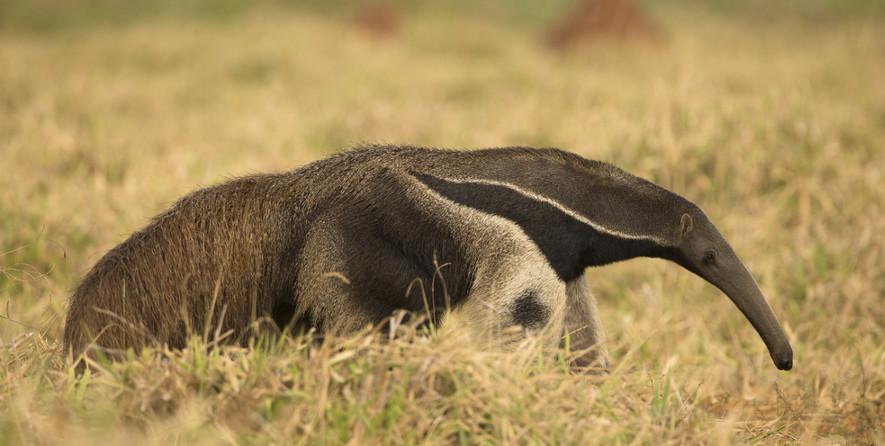 O tamanduá-bandeira é um dos mamíferos encontrados no Cerrado e está ameaçado de extinção