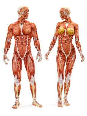 O tecido muscular está dividido em três tipos distintos