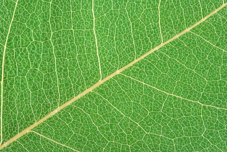O tecido de sustentação conhecido como colênquima margeia as nervuras das folhas das eudicotiledôneas
