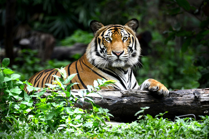 O tigre, assim como muitos outros carnívoros, é um grande predador