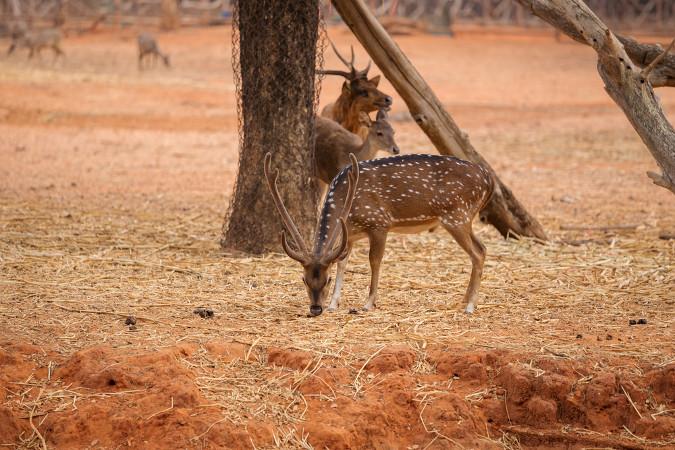 O veado-vermelho é um herbívoro característico do hemisfério norte.