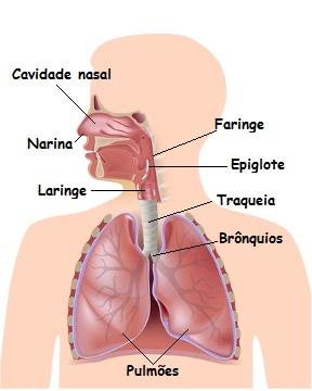 Observe as estruturas que fazem parte do sistema respiratório