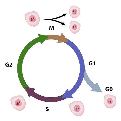 Observe atentamente as etapas da interfase, a fase que precede uma divisão celular