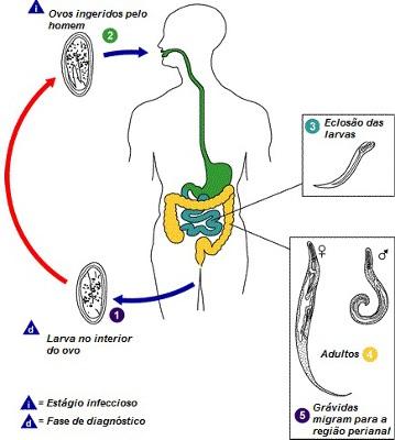 Observe o ciclo de vida do Enterobius vermicularis
