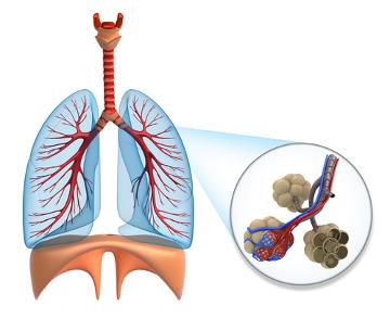 Observe o desenho esquemático do sistema respiratório com destaque para os alvéolos pulmonares