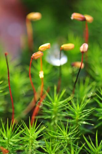 Observe o esporófito do musgo sobre o gametófito, com sua haste e cápsula produtora de esporos