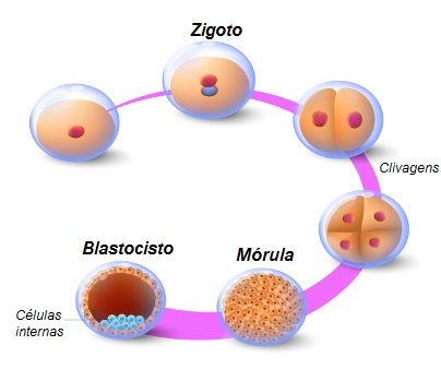 Observe o esquema ilustrando a formação da mórula e do blastocisto