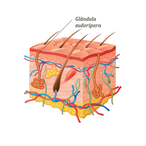 Observe a glândula sudorípara e o ducto típico de uma glândula exócrina