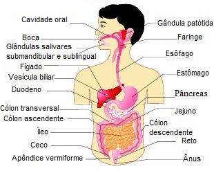 Observe a localização dos órgãos do sistema digestório