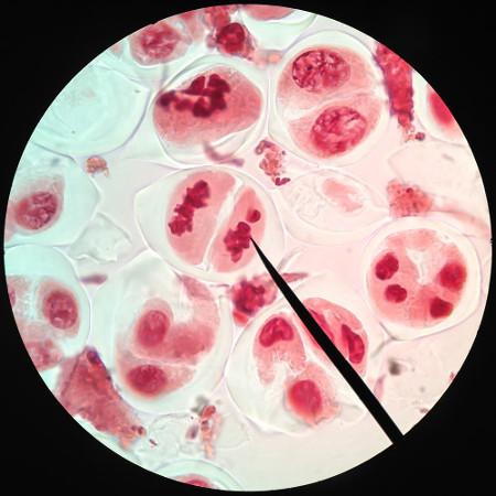 Observe a mitose ocorrendo nos tecidos
