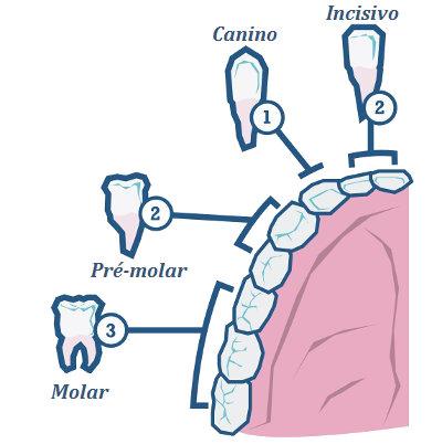 Observe os diferentes tipos de dentes existentes.