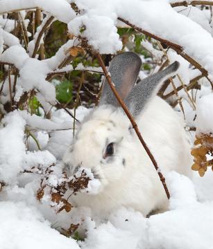 Observe que os pelos brancos dificultam visualizar o animal na neve