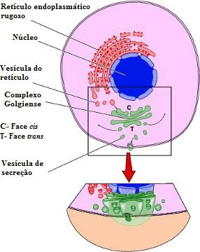 Observe a secreção de substâncias na célula animal