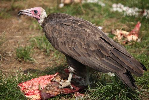 Os abutres estabelecem relação de comensalismo com alguns animais carnívoros