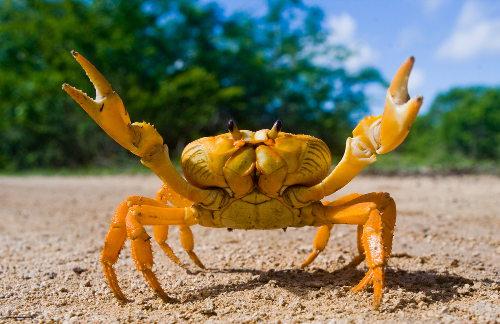 Os caranguejos são representantes do grupo dos crustáceos.