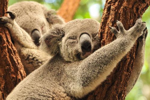 Os coalas são mamíferos classificados como marsupiais