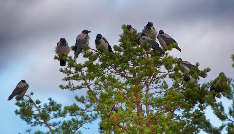 Os corvos são aves migratórias e onívoras e apresentam uma dieta bastante ampla e flexível