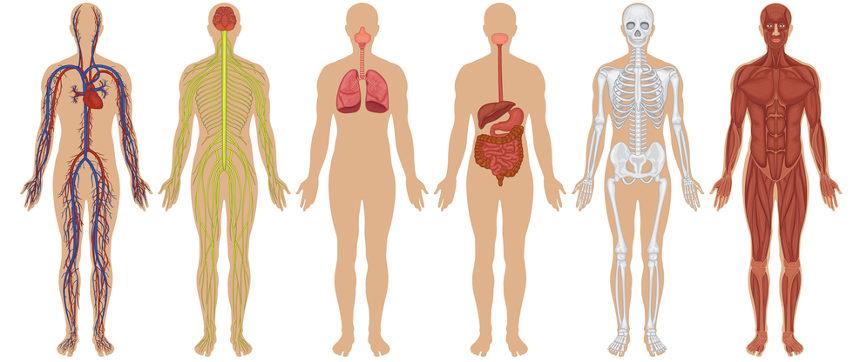 Os diferentes sistemas do corpo humano realizam atividades específicas para garantir o funcionamento do organismo