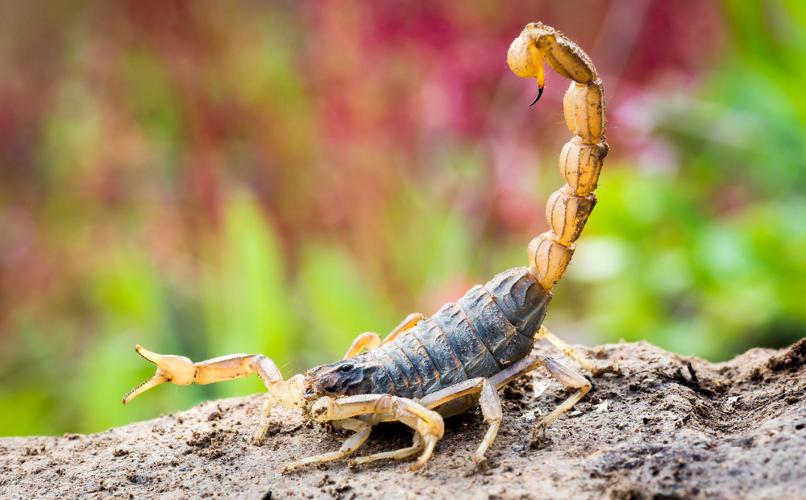 Os escorpiões apresentam um ferrão pelo qual injetam veneno em suas presas