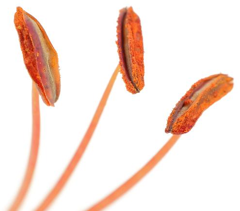 Os estames, órgãos reprodutivos produtores de pólen, apresentam uma antera e um filete