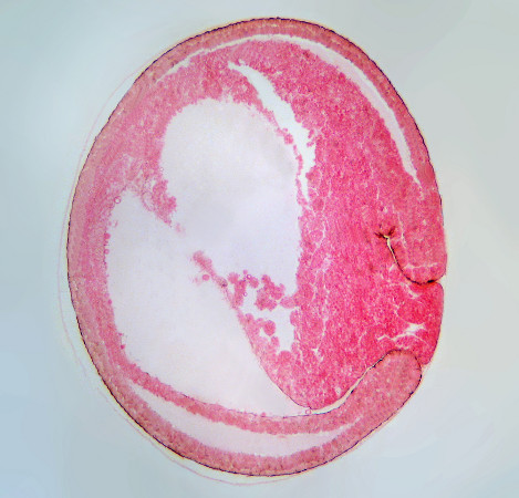 Os folhetos embrionários constituem-se em três camadas: ectoderme, mesoderme e endoderme