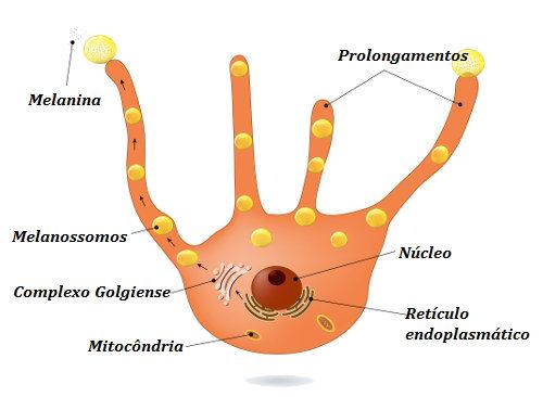 Os melanócitos são as células responsáveis pela produção de melanina