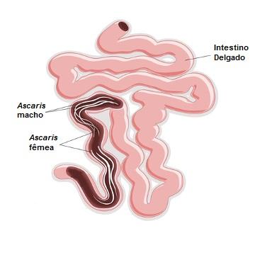 Os nematoides adultos vivem no intestino delgado do hospedeiro
