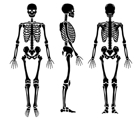 Os ossos, em conjunto com as cartilagens, formam o esqueleto humano