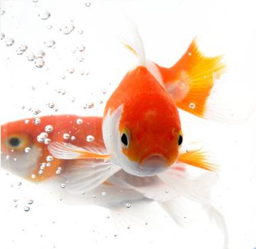 Os peixes são animais aquáticos que respiram através de brânquias