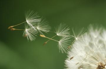 Os pequeninos frutos do dente-de-leão são transportados pelo vento