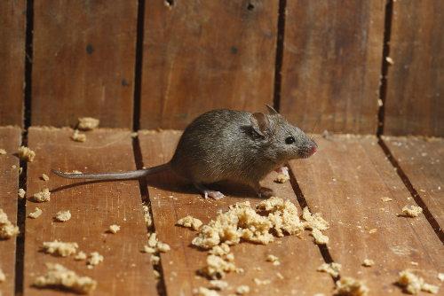 Os roedores são responsáveis por transmitir a leptospirose