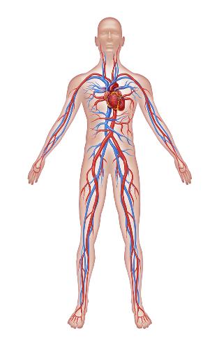 Os vasos sanguíneos podem ser divididos em três tipos: artérias, veias e capilares