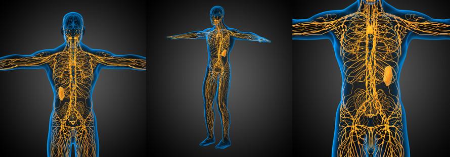 Os vasos do sistema linfático fazem a comunicação entre os tecidos e o sistema circulatório