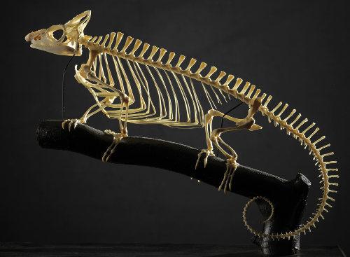Os vertebrados são tradicionalmente considerados animais com vértebras