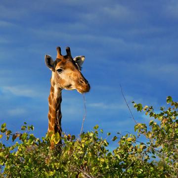 Segundo Lamarck, as girafas adquiriram pescoços longos após se esforçarem continuamente para conseguir alimentos em locais altos