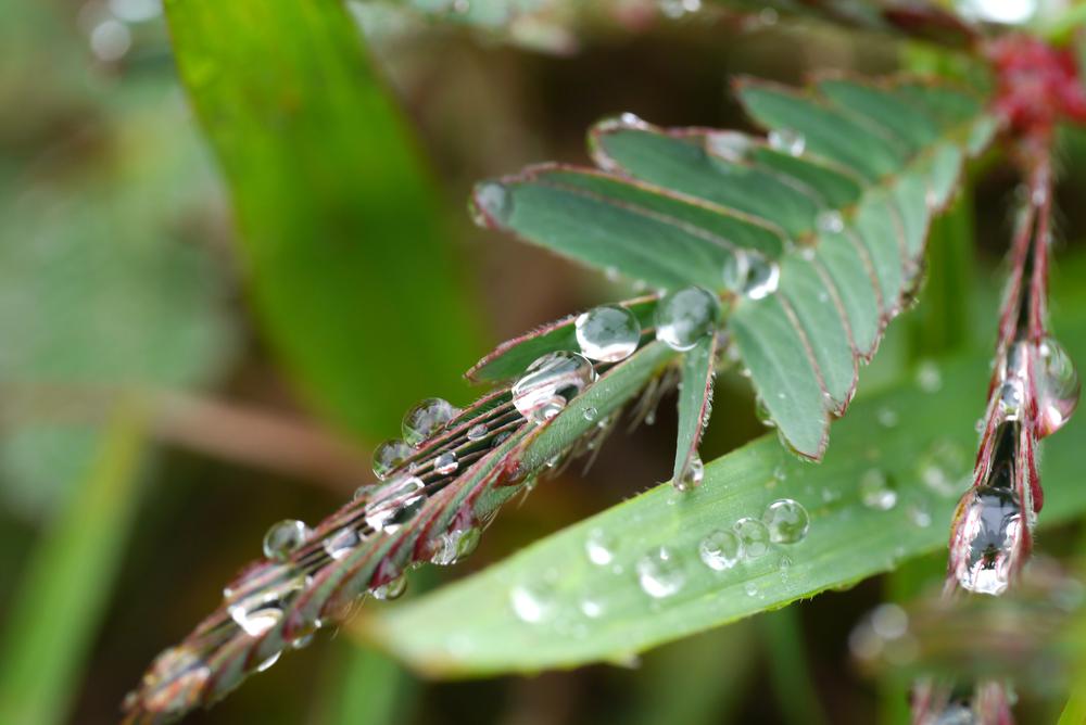 Um exemplo de nastismo ocorre na planta sensitiva que, ao ter suas folhas tocadas,  fecha seus folíolos
