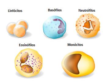 Veja acima os diferentes tipos de leucócitos